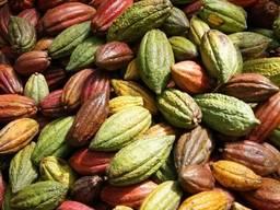 Forastero Cacao Beans