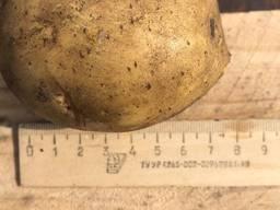 Картофель Kartoffeln