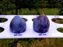 Plums from Moldova