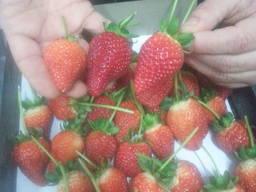 Strawberry , tomato